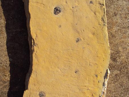 Trilobiti della Weeks Formation aggiunti in Collezione vai alle gallerie!