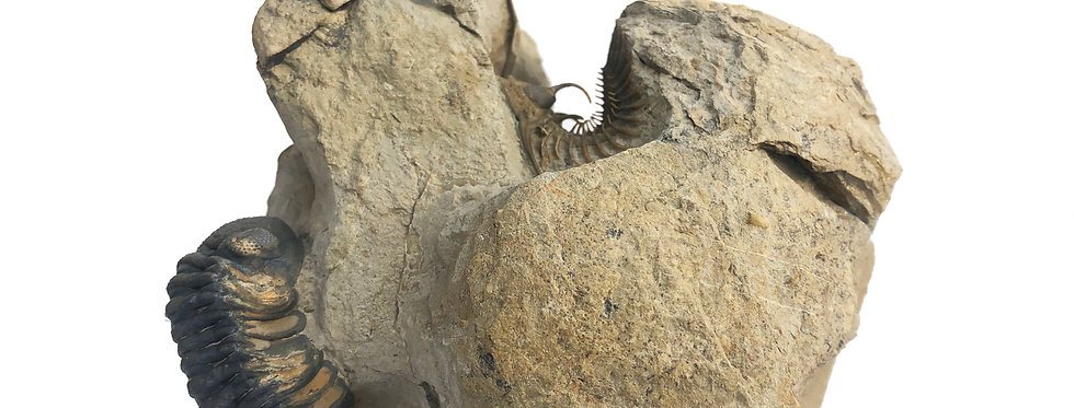 Walliserops trifurcatus morocco devonian trilobite
