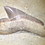 Thumbnail: Squalicorax sp. cretaceous shark tooth