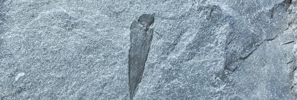 Cambrian Hyolitha Haplophrentis reesei  Spence Shale