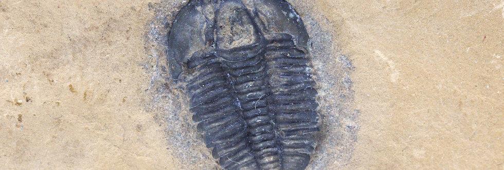 Modocia whiteleyi  (Robison et all. 2011)