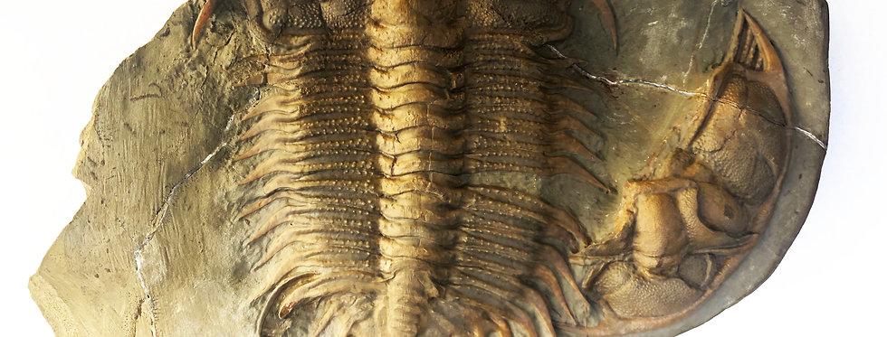 Damesella paronai cambrian trilobite trilobiti.com