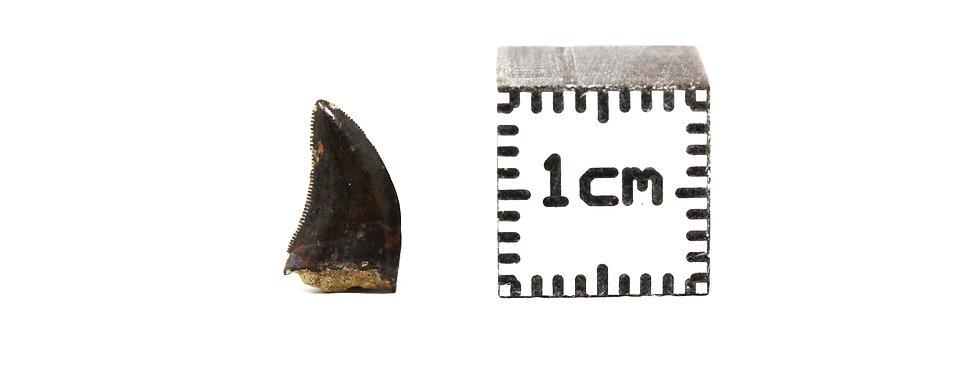 Dinosaur Fossil tooth Tyrannosaurus rex (Osborn, 1906)