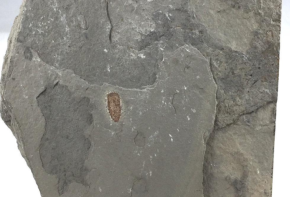 Diagoniella cyathiformis (Dawson & Hinde)