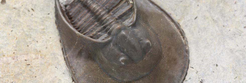 Harpid Harpes trilobites prepared by David comfort fossil on sale
