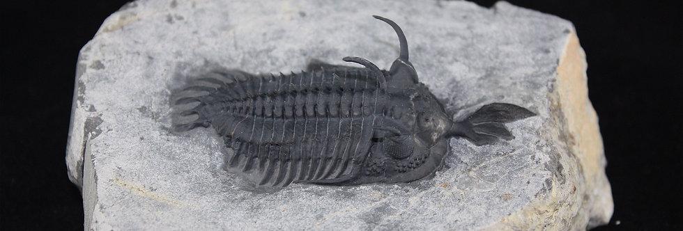 Walliserops aff. linodei (Chatterton 2010)