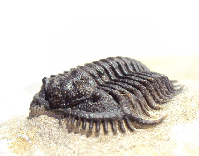 Gondwanaspis mritensis eyes devonian