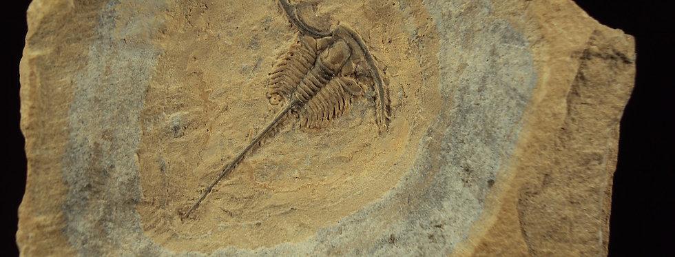 Cedarina schachti (Adrain, Peters & Westrop 2009)