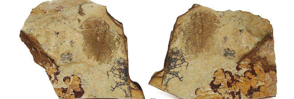 Cambrian Trilobite Nevadia weeksi (Walcott, 1910)