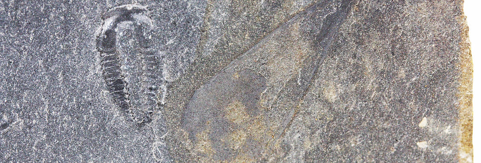 Cambrian Hyolitha Hyolithes idahoensis? Spence Shale