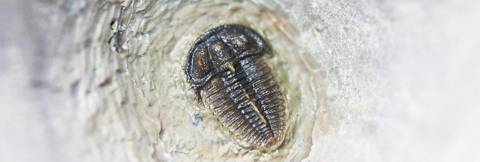 TDI290 Cambrian Ptychoparid trilobite Bolaspidella drumensis (Robison)