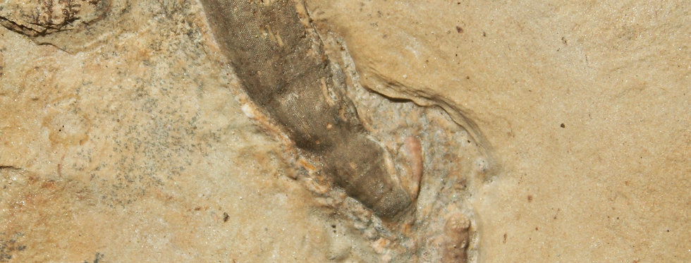 Undescribed Archaeocyathid