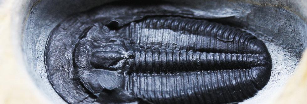 Amecephalus laticaudum  Cambrian trilobit Spence Shale 1