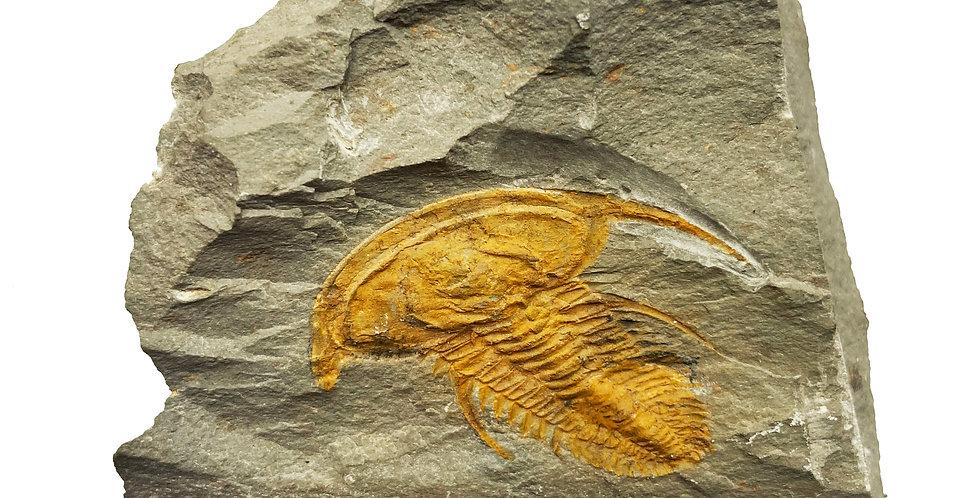Cambrian trilobite Fallotaspis plana?