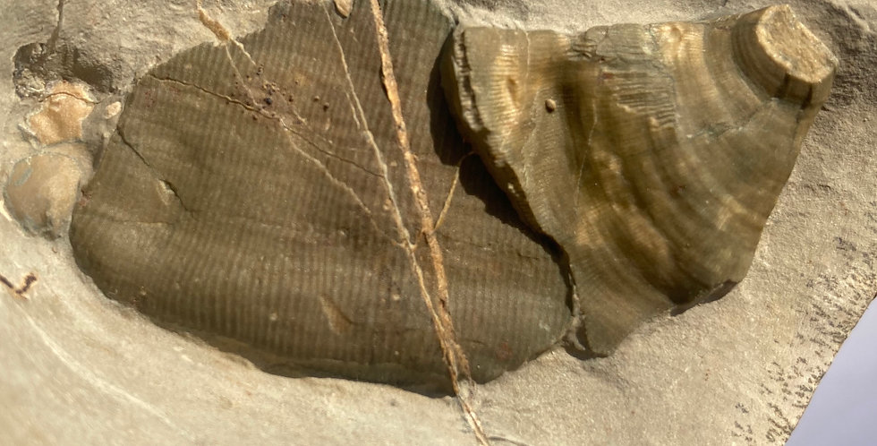 Rare Poleta formation Archaeocyathids Cambrian life form