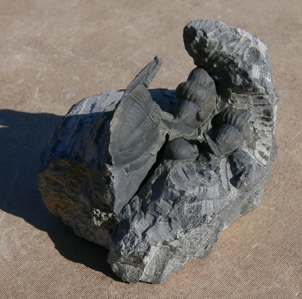 Cyberella lemkei Basse, 2004 nodule