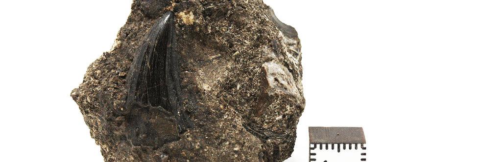 complete in matrix Rare locality Mosasaurus beaugei (Arambourg, 1952)