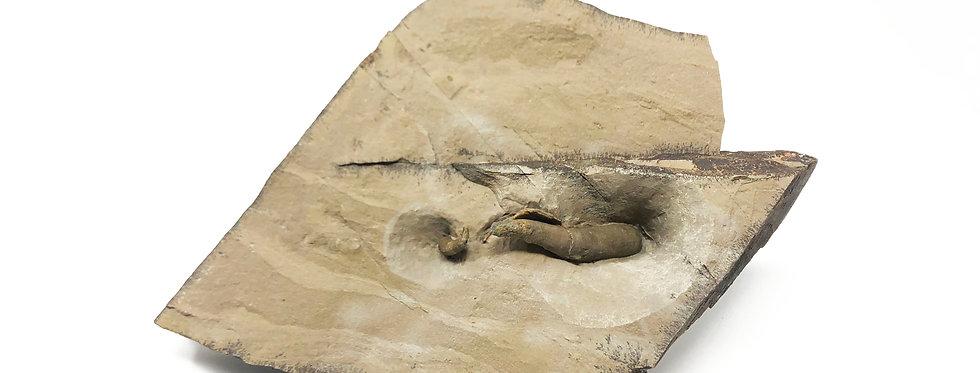 Cambrian Archaeocyatha polenta formation usa
