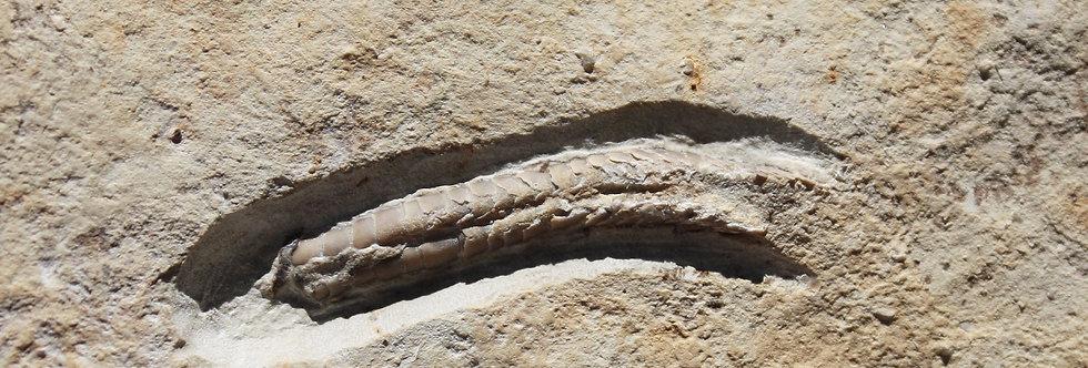 Machaeridians Lepidocoleus sp.