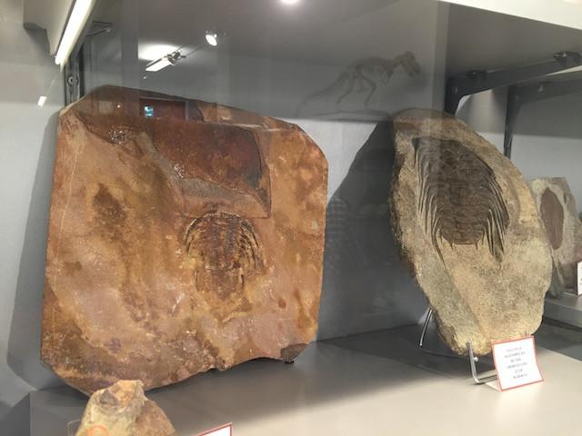 Selenopeltis trilobites