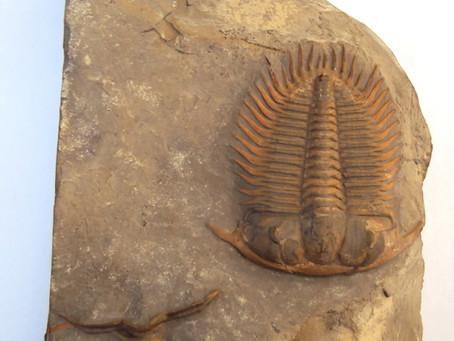 Damesella Paronai Zone; Quarry and Trilobite