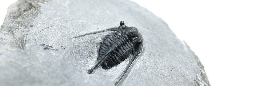 Cyphaspis cf eberhardiei (Chatterton et al., 2006)