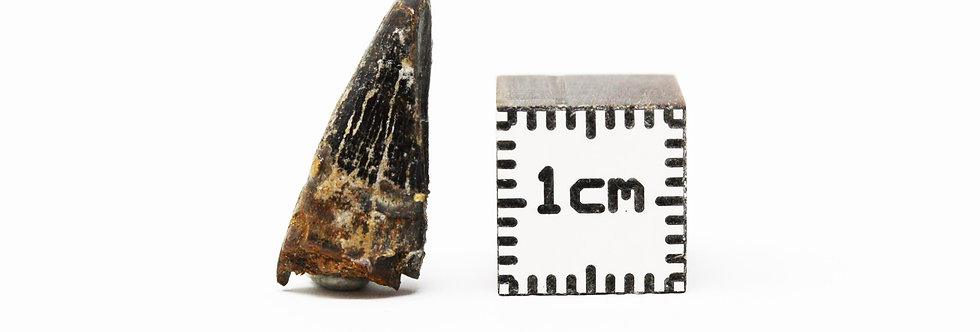 Dinosaur Fossil tooth Edmontosaurus sp.