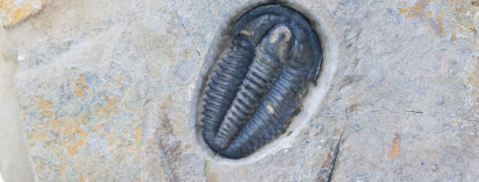 Modocia brevispina cambrian trilobite