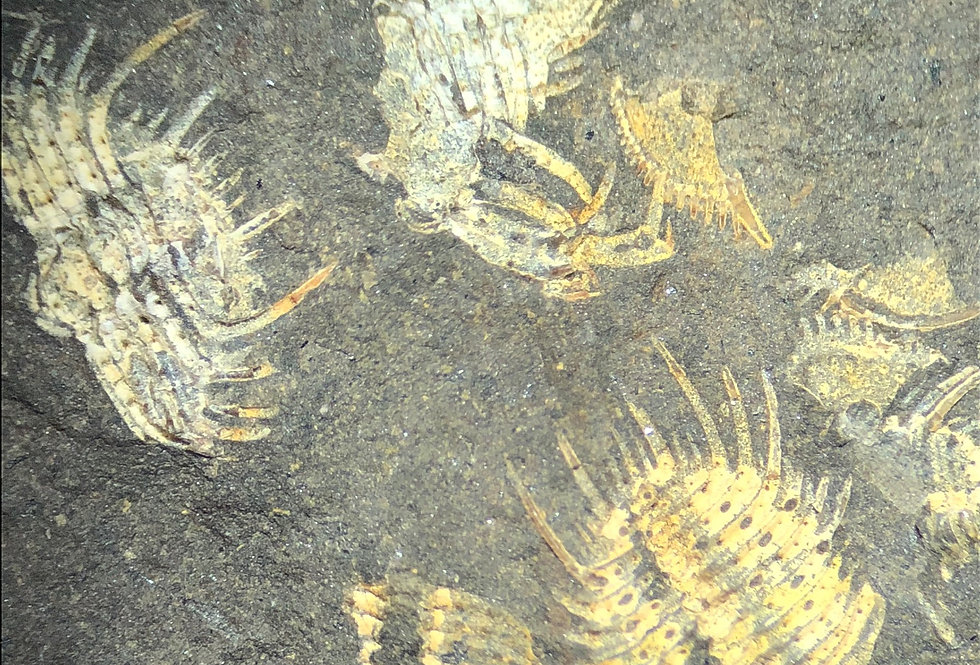 Diacanthaspis minuta (Barrande, 1846)