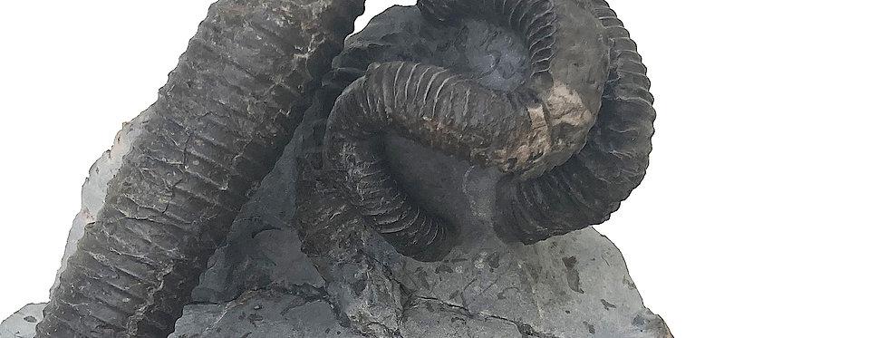 NIpponites ammonite on sale trilobiti.com Japanese cretaceous ammonite