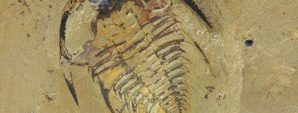 Fossil Trilobite Olenellus gilberti (Meek, 1952)