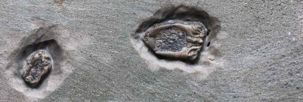 Homalozoan echinoderms Ctenocystis