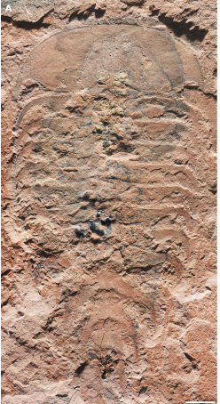 A rare non-trilobite artiopodan from the Guzhangian (Cambrian Series 3) Weeks Formation Konservat-La