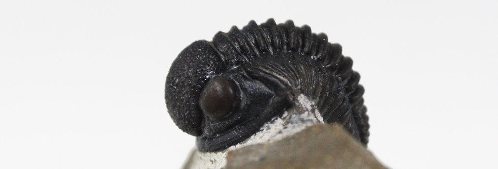 Trilobite Gerastos tuberculatos marocensis (CHATTERTON et.al. 2006)