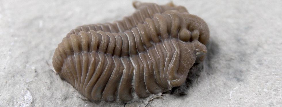 Silurian Trilobite Calymene clavicula (Campbell, 1967)