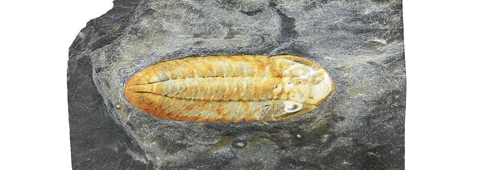 Rare Phacopina micheli (Tromelin, 1877) ordovician Trilobite