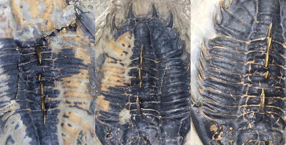 Kootenia randolphi fossil trilobite preparation