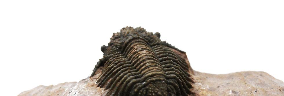 Acanthopyge (Lobopyge) Trilobite Jbel El Mrakib
