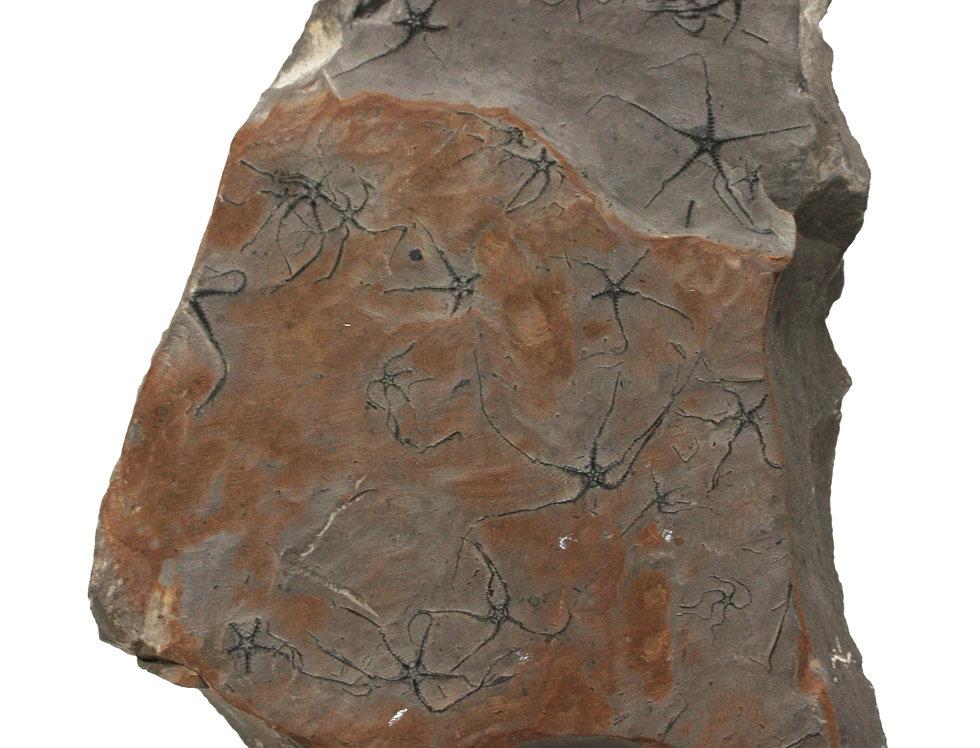 Jurassic Brittlestar Ophiopinna elegans (Heller, 1858) La Voulte sur Rhone
