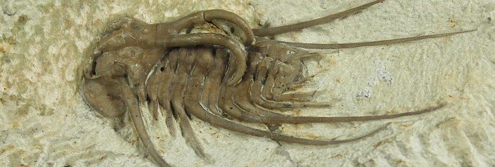 Dicranurus hamatus elegantus  (Campbell, 1977)