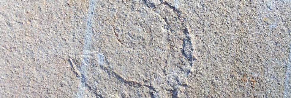 Allocrioceras cf. annulatum (Shumard, 1860)