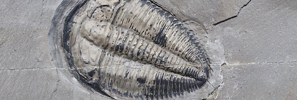 Gold Amecephalus idahoense tirlobite cambrian on sale