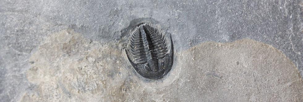 Amecephalus jamisoni cambrian trilobite Spence shale David Comfort preparation