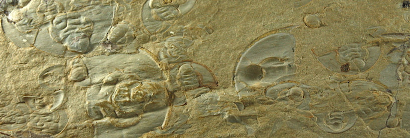 Olenellus gilberti O.terminatus MASS mortality