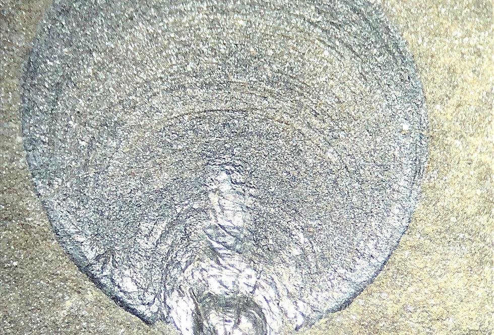 Cambrian brachiopoda Eoobolus sp. lingulids