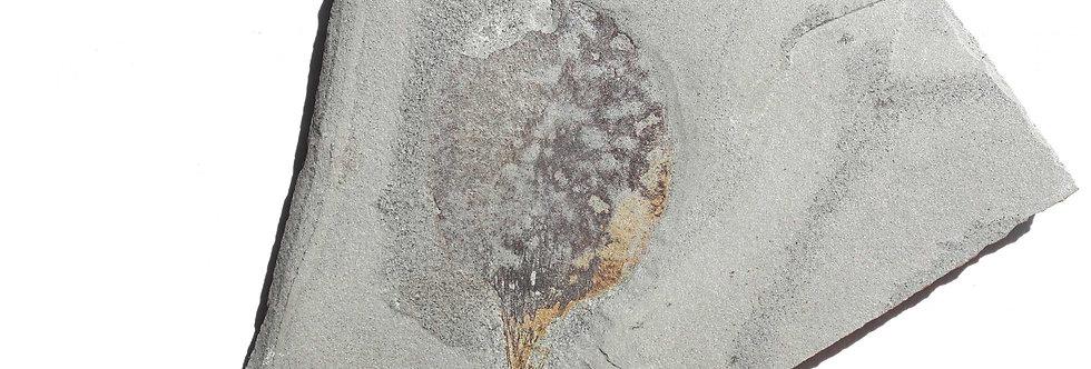 undescribed circular sponge cambrian