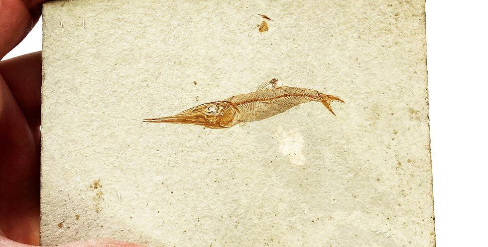 Apateopholis laniatus cretaceous fish on sale