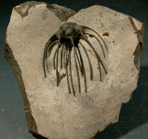 Heliopeltis sp trilobite Devonian fo Morocco 5