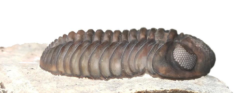 Morocops devonian trilobite from Jorf