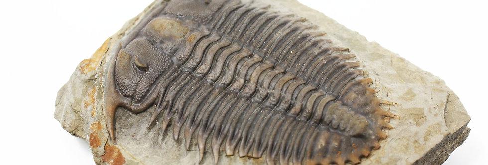 Damesella paronai trilobite